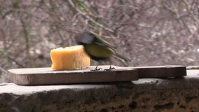 Two tits eat cheese stock footage