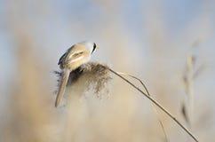 Tit barbudo masculino (biarmicus del panurus) Fotos de archivo libres de regalías