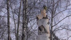 Tit on birch tree stump stock video footage