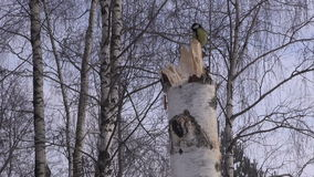 Tit on birch tree stump. Great tit on birch tree stump against trees on overcast winter's day stock video footage