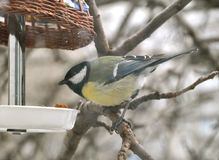 Tit bird and a bird feeder Stock Photos
