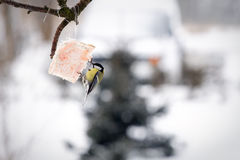 Tit bird feeding Stock Images