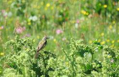 Tit bird in grassland Royalty Free Stock Photos