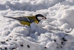 Tit bird snow seeds Stock Image