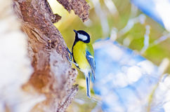 Tit bird tree forest winter hollow.  Royalty Free Stock Photography