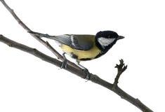 Tit bird on twig. Isolated on white Stock Photos