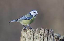 Tit blu, caeruleus del Parus Fotografia Stock Libera da Diritti