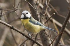 Tit blu (caeruleus di Cyanistes) immagini stock libere da diritti