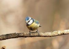 Tit blu (caeruleus di Cyanistes) Fotografia Stock