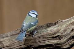 Tit blu, caeruleus di Cyanistes Fotografie Stock Libere da Diritti