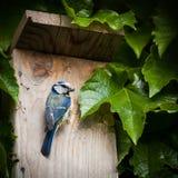 Tit blu da un nido per deporre le uova Immagini Stock Libere da Diritti