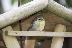Tit blu del bambino Il bambino dell'uccello sta sedendosi in un alimentatore dell'uccello per riposare dal suo primo volo fotografie stock