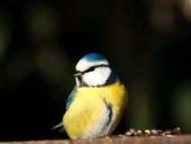 Tit blu dell'uccello immagini stock