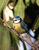 Tit blu dell'uccello immagini stock libere da diritti