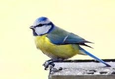 Tit blu in tabella dell'uccello Immagine Stock