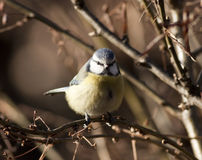 Tit blue bird Royalty Free Stock Images