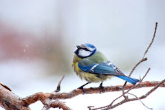 Tit blue tit Royalty Free Stock Photos