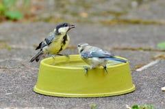 Tit, Blue Tit, Little Bird, Bird Stock Images