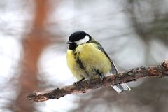 Tit on a branch. Blue tit sitting on a branch in winter forest Stock Image