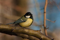 Tit on a branch Royalty Free Stock Images
