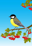 Tit on a branch of viburnum Stock Photos
