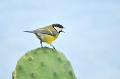 Tit on a cactus. With a blue background Stock Photos