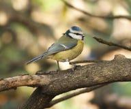 Tit (caeruleus del Parus) fotografie stock libere da diritti