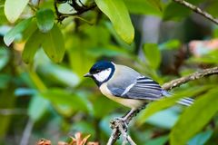 Tit can be fed by hand. Little tit can be fed by hand royalty free stock photography