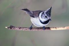 Tit con cresta del pájaro (lat Cristatus del Parus) que se sienta en una rama de árbol Imagen de archivo