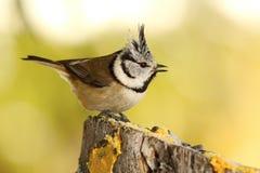 Tit con cresta divertido en el alimentador del pájaro del jardín foto de archivo