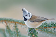 Tit con cresta, pájaro cantante lindo con la cresta gris que se sienta en rama spruce verde hermosa con el fondo verde claro, háb Fotografía de archivo libre de regalías