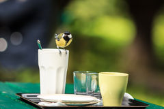 Tit on the cup. Yellow tit sits on the white cup on the table in the park after someones dinner Stock Photo