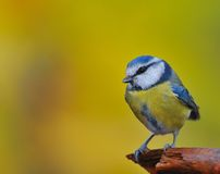 Tit, cyanistes caeruleus Royalty Free Stock Photos