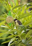 Tit eating a ball of fat and seeds Royalty Free Stock Photos