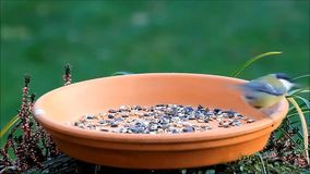 Tit eating bird food, fodder place stock footage