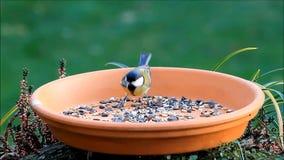 Tit eating bird food, fodder place stock video