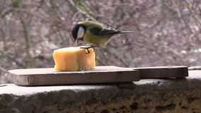 Tit is eating cheese stock video footage