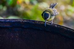 Tit on the edge of a rusty iron barrel stock images