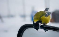 Tit en el espejo lateral de las miradas del coche en el espejo imagenes de archivo