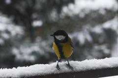 Tit en nieve imagen de archivo