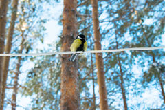 Tit en un bosque del invierno Foto de archivo
