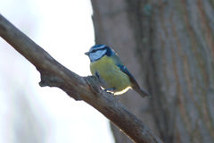tit för fjäder för stor fågelfilialskog sittande Arkivbild