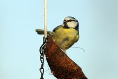 Tit on fat feeder Stock Images
