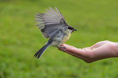 Tit feeding in hand Royalty Free Stock Photo