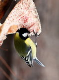 Tit feeding in winter Royalty Free Stock Photography