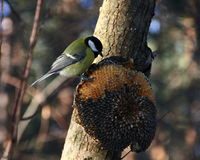 Tit feeding in winter Royalty Free Stock Photo