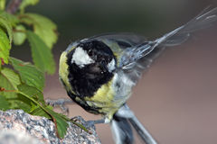 Tit flapping wings Royalty Free Stock Images