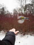 Tit flies over hand Stock Photos