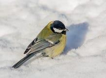Tit grande en la nieve Fotografía de archivo
