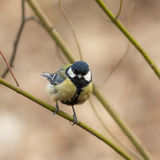Tit on a green branch Royalty Free Stock Images